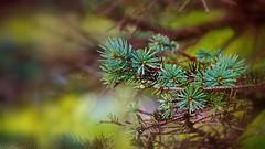 Simplicity (Bob's Digital Eye) Tags: bobsdigitaleye canon canonefs55250mmf456isstm depthoffield flicker flickr green nature organictexture pineneedles t3i tree outdoor plant