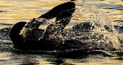 Fluid motion (Howard Ferrier) Tags: blur australia actions kingsbeach motion sunshinecoast arm swimming photography anatomy movement monochrome caloundra swimmingpool queensland swim oceania themes seq