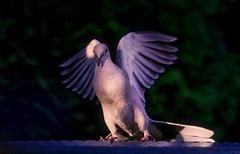 An Angel (robinlamb1) Tags: bird animal nature dove eurasiancollareddove collareddove outdoor backyard aldergrove wingspread wings