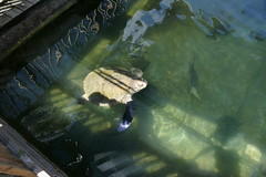 2016-09-07 12-23-47 - P9950234 (ndrs81) Tags: florida keywest keywestaquarium aquarium turtle schildkrte lola prostheticflipper