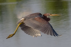 Tricolored Heron (tresed47) Tags: 2016 201608aug 20160819bombayhookbirds birds bombayhook canon7d content delaware folder heron peterscamera petersphotos places takenby tr1coloredheron us ngc