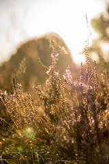 Sunrise Veluwe Arnhem (NuumsG) Tags: heather veluwe sunrise veluwezoom