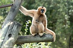 _MGL9663.jpg (shutterbugdancer) Tags: fortworthzoo primate whitecheekedgibbon