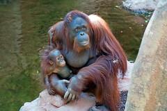 Borneo Orangutan, Bioparc, Fuengirola, Andalusia, Spain (rmk2112rmk) Tags: borneoorangutan bioparc fuengirola andalusia spain orangutan pongopygmaeus primate greatape ape