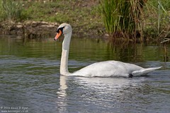Mute Swan (Kevin B Agar) Tags: britishbirds muteswan staidans