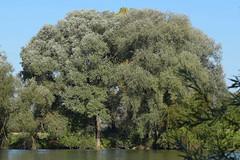 Weiden (dieterbraun) Tags: nikon d5500 baum pflanze ufer