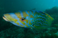 cuckoo (richie rocket) Tags: scillies seasearch scillyisles cornwall uk underwater scuba diving