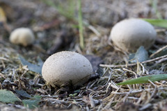 Puff-ball Mushrooms (brucetopher) Tags: mushroom fungus fungi macro canon7d 7d canon ball puffball egg eggshpaed earth earthy grow fall autumn white beige