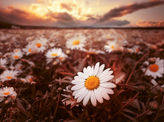 Papatya (*Tue*) Tags: sunset sunlight sun daisy white yellow perspctive clouds cloud flickr turkey