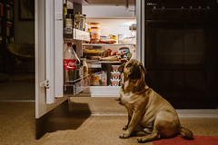 Dog Dienstag: Cheese please? (tinto) Tags: 23mm 35mm fuji fujifilm fujilove fujix100t fujixseries mirrorless tintography vsco vscofilm x100t dog parker parkerthepuggle fridge hungry puppy dogs