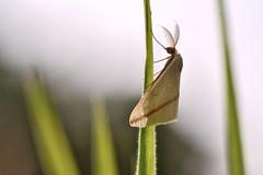 Rhodometra sacraria (STE) Tags: rhodometra sacraria falena moth geometridae