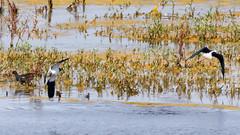Vanneau huppé (Vanellus vanellus) & Echasse blanche (Haematopus ostralegus) (yann.dimauro) Tags: fr france animaux baie baiedesomme extérieur faune grandlavier lavier lecrotoy oiseau ornithologie picardie somme yanndimauro