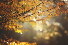 Soon (Tammy Schild) Tags: orange autumn fall season nature trees leaves branches foliage bokeh light morning golden yellow