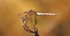 Dragonfly (red.fox.child) Tags: dragonfly insect odonata animal animals species life wildlife grass field nature outdoors eyes macro closeup canon canoneos600d autumn