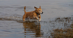 splashtastic (jump for joy2010) Tags: uk england somerset huntspill riverparrett hightide september 2016 dogwalking dogs terrier jackrusselldachsund small brown chum charlie happiness paddling saltwater waterdroplets 52weeksfordogs week39
