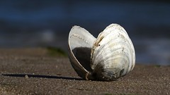 Shell In The Sand (Harald52) Tags: muschel strand ostsee natur