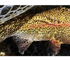 details of a healthy colorado rainbow (animal vegetable miracle) Tags: flyfishing flyfishingcolorado flytying