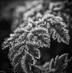 framed by frost (krllx) Tags: bw nikc sh autumn blackandwhite closeup closeuplens crystals icecrystals iceformation light macro monochrome nature 20161003dsc03589edit201610031 depthoffield leaves