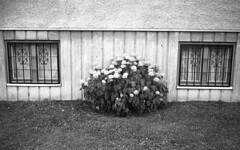 Flowers (Nils Kristofer Gustafsson) Tags: blackandwhite bnw ishootfilm retro rollei 400s lomo lomography sweden rebro keepfilmalive filmisnotdead filmphotography film rodina adonal yashica electro cc 35mm
