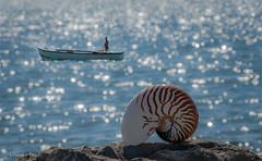 27 settembre 2016, conchiglia di Nautilus (adrianaaprati) Tags: mare sea shell conchiglia coquille schale bokeh mer meer calma allaperto sfocato blur nautilus marinaio nave barca