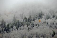 The Rebel (Dru!) Tags: thanksgiving tree trees forest yellow aspen conifer snow fall autumn robsonvalley mcbride bc britishcolumbia canada cold hoarfrost cloud fog mountainside rockies rockymountaintrench