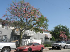 A Tree Blooms at Pico Gardens (lavocado@sbcglobal.net) Tags: publichousing picogardens streettree