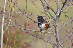 Peeking Through The Brambles (Neal D) Tags: bc surrey crescentbeach blackiespit bird towhee spottedtowhee pipilomaculatus