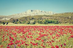 Wild St Victoire (A.G. Photographie (+ 100 000 vues)) Tags: massif aix provence saintevictoire coquelicots