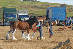 Morning PreShow Warm Up -  Working Horses Day 2016 (john_mullin) Tags: scotland scottish british horse hoses workinghorses heavyhorses clydesdale farm farming agriculture indaysgoneby horsepower teamwork animals cultivation harvest ploughing britishhorsesociety collessie fife
