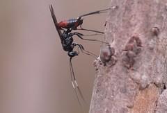 Cryptinae sp f - 16 X 2016 (el.gritche) Tags: hymenoptera france 40 garden ichneumonidae cryptinae nest apidae ceratinachalybea behavior