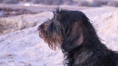 Shiba (pepe amestoy) Tags: portrait dogs bokeh dof elcampello spain carl zeiss t planar 250 zm leica mount fujifilm xe1