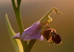 20160609-150F (m-klueber.de) Tags: 20160609150f 20160609 2016 mkbildkatalog europische mitteleuropische flora mainfranken unterfranken orchidee orchidaceae ophapif ophrys apifera sstr bienen ragwurz bienenragwurz