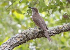 Black-billed Cuckoo (PeterBrannon) Tags: bird blackbilledcuckoo coccyzuserythropthalmus cuckoo florida fortdesoto nature tampa wildlife