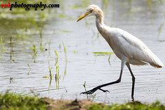 _DSC3886 (rvk82) Tags: 2016 birds egrets india nature nikkor200500mm nikon nikond500 october2016 photography rvk rvkphotography raghukumarphotography southindia tamilnadu wildlife rvkphotographycom mugaiyur in