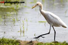 _DSC3886 (rvk82) Tags: 2016 birds egrets india nature nikkor200500mm nikon nikond500 october2016 photography rvk rvkphotography raghukumarphotography southindia tamilnadu wildlife rvkphotographycom mugaiyur in rvkonlinecom