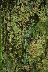 Bark & Lichen (wackybadger) Tags: wisconsinstatenaturalarea sna612 tree eastforkoftheblackriversna sigma1020mmf4exdchsm wisconsin bark nikond60 jacksoncounty blackriverstateforest wisconsinstateforest lichen nikon