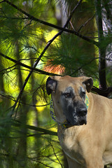 What's Up Dog (swong95765) Tags: forest dog canine greatdane light cute trees
