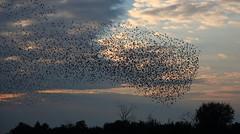 Starling Shapes (Robin M Morrison) Tags: somerset starlings murmuration somersetlevels rspbhamwall rspb