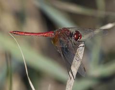 Sympetrum  nervures rouges, Sympetrum fonscolombii (JFB31) Tags: symptrumdefonscolombe sympetrumfonscolombii anisopteres libellulidae sympetrum