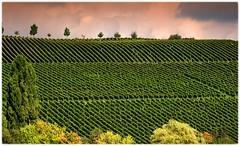 Weinberg in der Abendsonne - Vineyard in the evening sun - Explore # 163 - thank you! (Sonnenblume) Tags: rebberg weinberg trauben