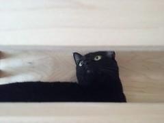 (sftrajan) Tags: kitteatealounge cats kittycat felines gatos tabbies sanfrancisco blackcat adoption