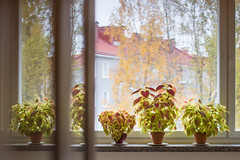 But some days (soikkoratamo) Tags: coleus stilllife houseplants indoorplants indoorgarden window bythewindow indoors indoorsout reflection colorful colors canoneos7dmarkii canoneos7d canonef50mmf14usm ef50mmf14usm ef50mmf14 50mmf14 50mm autumn autumncolours fall seasons home homedecoration naturallight