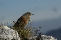 Alpenbraunelle (Prunella collaris) (Chris Nature) Tags: bird berge mountain vogel braumelle alpen nature gipfel kreuz mangfall gebirge braun alpenvogel grn herbst felsen grau blau rosstein tegernsee