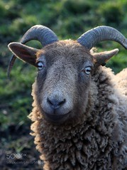 Nice to Bleet You (SeattleHVAC172) Tags: portrait eyes light smile happy friend nose us you horn farm sheep wool comfort horns meet 1 animal nature uk ram looking at camera wildlife suffolk nobody southwold front view focus on foreground animals in the wild bleet waveney