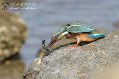 Common Kingfisher @ Khor Kalba, Sharjah, UAE (Ma3eN) Tags: common kingfisher khorkalba sharjah uae bird 2016