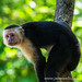 Square crop of a white-faced capuchin