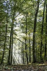Tree-mendous Wood (mexou) Tags: wood beech lane sunrays sunlight green luxembourg