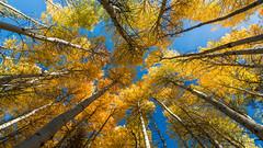 Fall Foliage in Eastern Sierra (Jaideep Mann) Tags: fall foliage colors yellow gold golden june lake loop mammoth lakes eastern sierra californiagrove sky blue autumn
