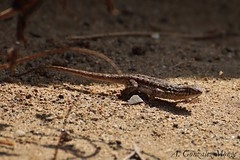 Lagarto de costado maculado / Common Side-blotched Lizard (Uta stansburiana) (avgomo) Tags: usa unitedstates eeuu estadosunidos california losangeles ballona fauna lagartos lizards reptiles
