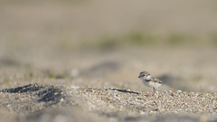 Piping Plover Chick (carolinaaf14) Tags: pipingplover plover newjersey sand beach bird outdoors nature tinytownsedtennesseeusa